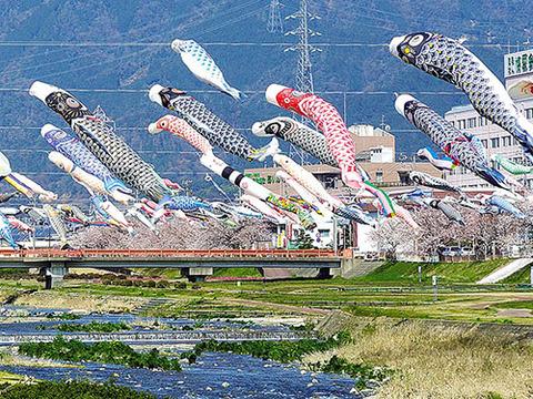 約350匹の鯉のぼりと桜を見物