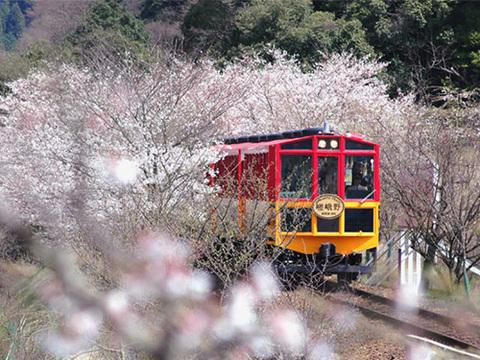 桜の嵯峨野トロッコ列車