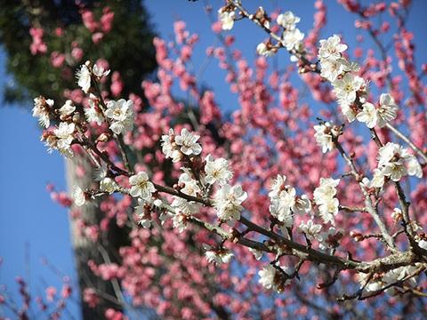 熱海梅園梅まつりイメージ