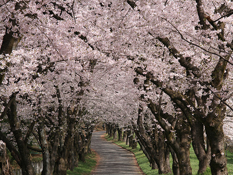 赤城南面千本桜まつりイメージ