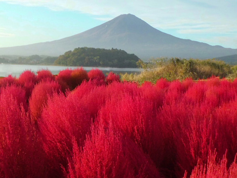コキアと富士山イメージ