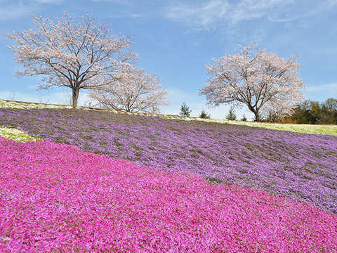 東京ドイツ村 芝桜イメージ
