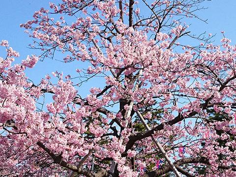 しらこ温泉桜まつりイメージ