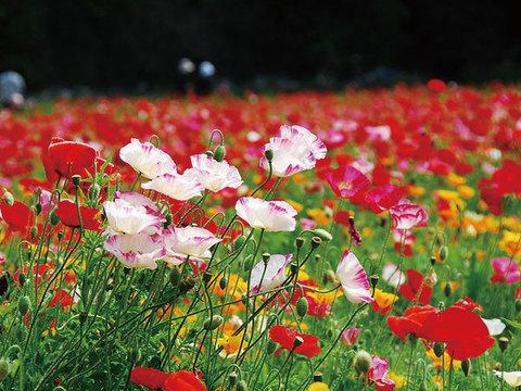 くりはま花の国イメージ