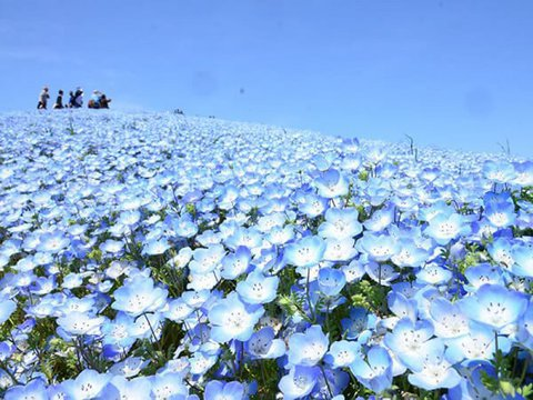 青の絨毯ネモフィライメージ