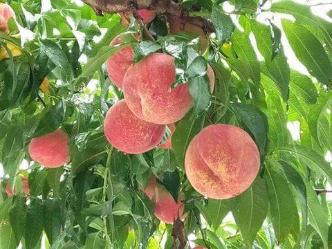 桃狩りイメージ